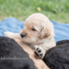 Geneseo NY pet photography ~ Peters' Puppies